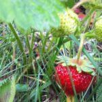 Prírodná záhrada v máji. Počasie, úroda, vošky...