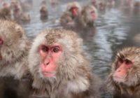 Snežné opice si vychutnávajú horúce kúpele