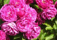 Rozprávkový svet ruží. Arborétum Borová hora