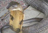 Chcete si podojiť hada? Hadí jed totiž naozaj lieči