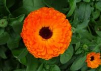 Nechtík – Božia rastlina. Liečivé účinky a spôsoby využitia