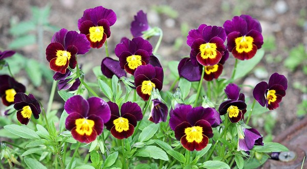 o bylinkách fialky