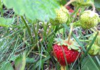 Prírodná záhrada v máji. Počasie, úroda, vošky…