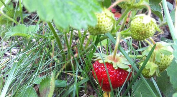 jahody v záhrade