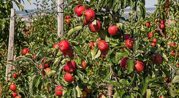 samozber jabĺk