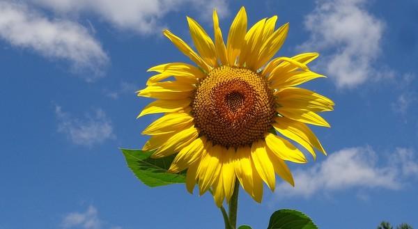 slnečnicový olej vás môže zbaviť baktérií a toxínov v tele