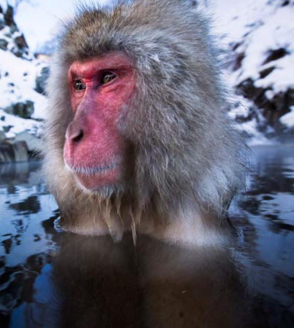 snežné opice samec makaka
