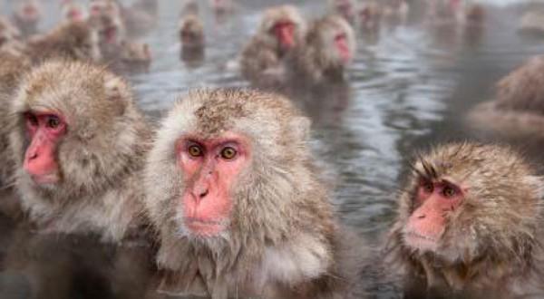 snežné opice v kúpeľoch