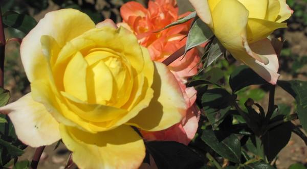 ruže arborétum borová hora