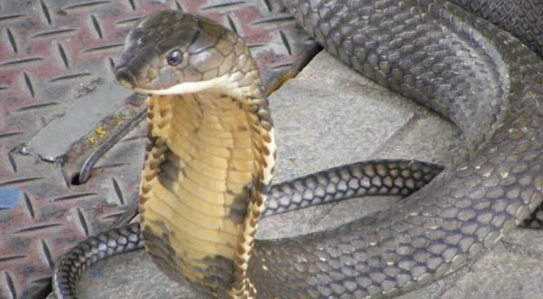 hadí jed farma thajsko