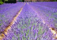 Levanduľa. Nádherné fialové polia, ktoré liečia