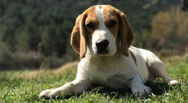 čipovanie psov