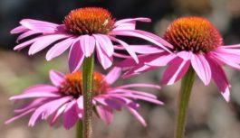 Echinacea. Liečba, pestovanie a prípravky