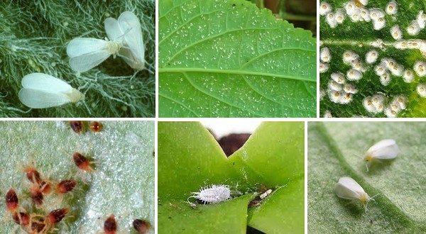 škodce izbové rastliny