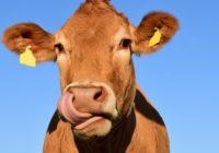 Majú spokojné zvieratá naozaj lepšie mäso?