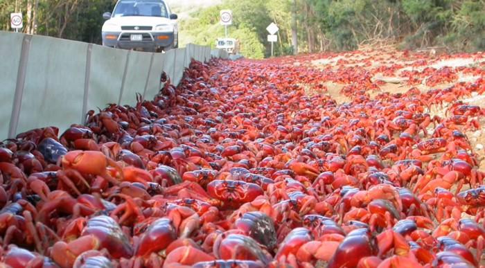 kraby Vianočný ostrov migrácia