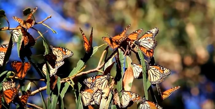 motýle monarch migrácia