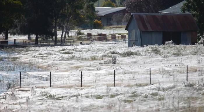 pavúčia sieť Wagga Austrália