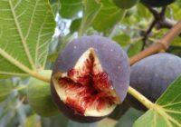Ako pestovať figy? Ako ich presadiť akedy zbierať zrelé plody?