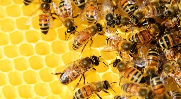 včely plást