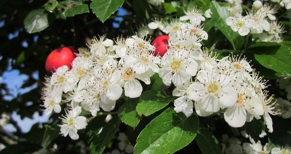 kvety hlohu
