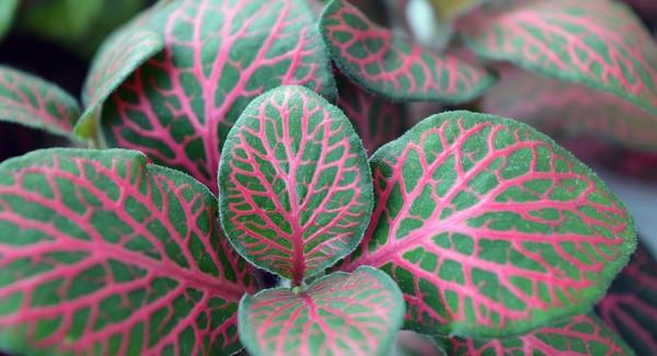izbová rastlina fitonia