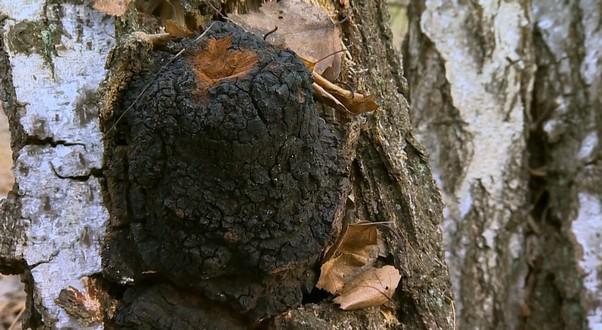 huba čaga na strome