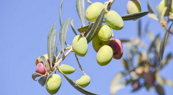 olivy a olivový olej