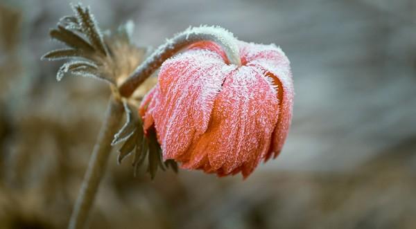 rastliny poškodené mrazom