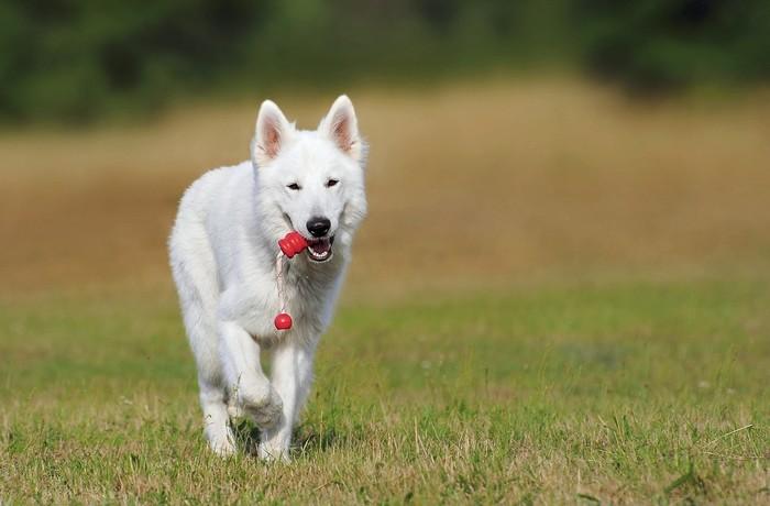 dobrý výcvik psov