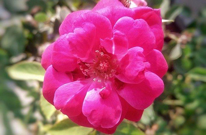 ruža a liečivé recepty