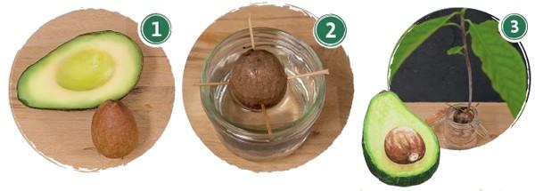 ako si vypestovať avokádový strom