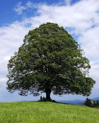 strom lipa