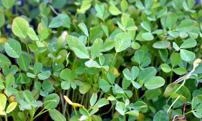 bylinky pri dojčení senovka