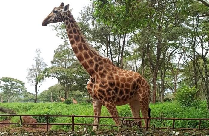 Keňa Žirafie centrum