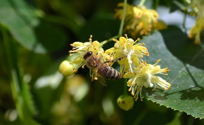 lipové kvety včela