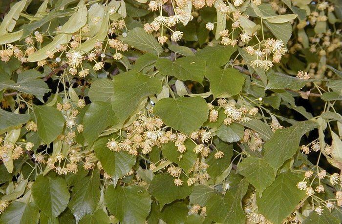 lipové kvety