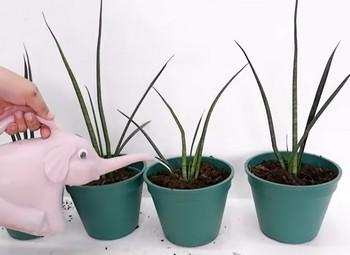 sansevieria 8 rastlín na zlepšenie koncentrácie