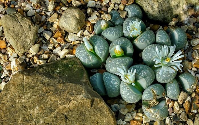 živý kameň 8 rastlín na zlepšenie koncentrácie