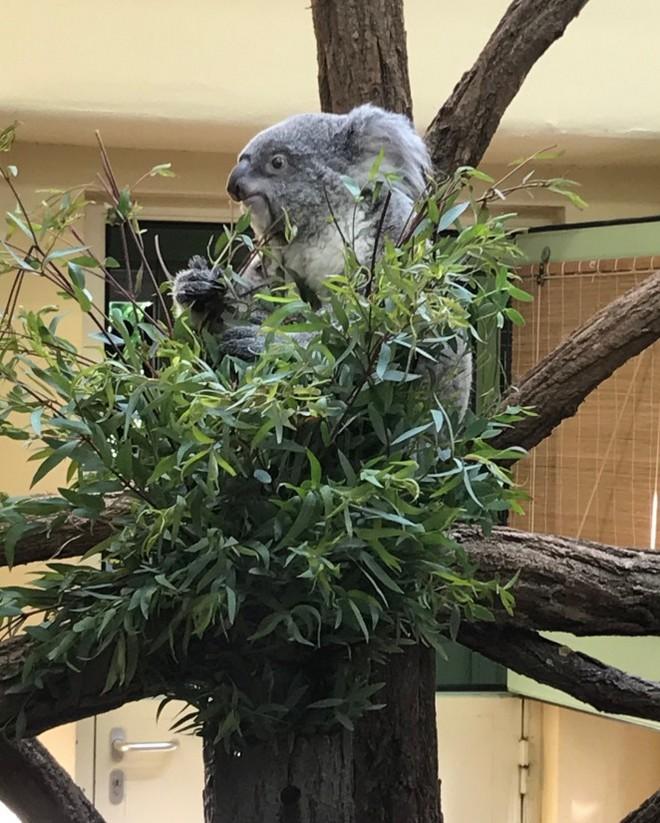 koala v zoologickej záhrade Schonbrunn
