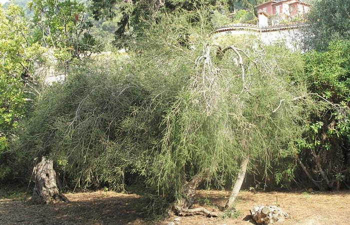 strom Melaleuca alternifolia - tea tree olej