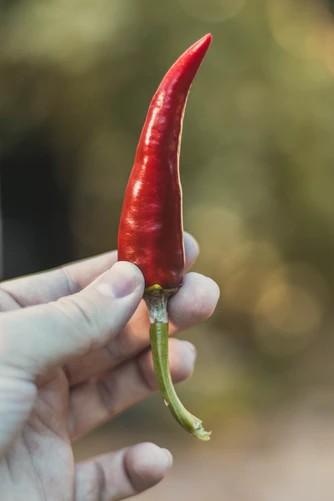 liečivé čili papričky