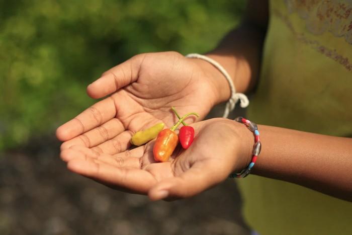 sú čili papričky liečivé?