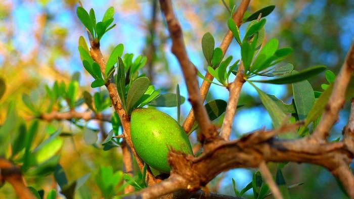 arganový strom