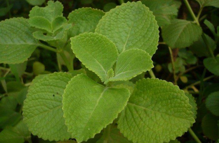 bylinka nádchovník