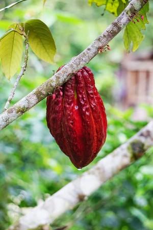 kakaový bôb ruby čokoláda