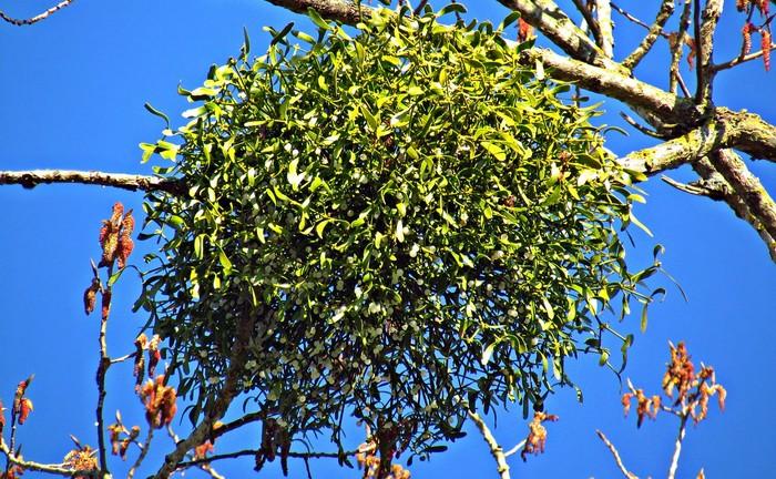 imelo parazituje na stromoch