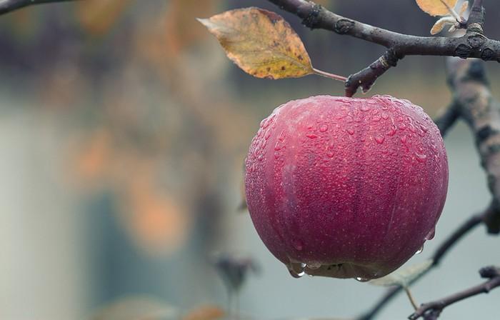 práce v záhrade zber jabĺk