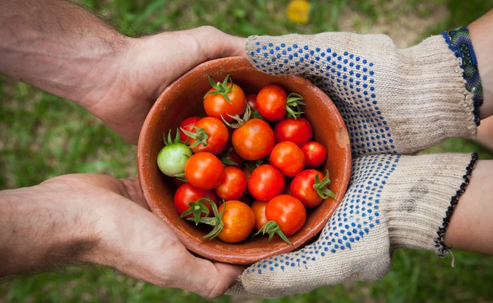 práce v záhrade zber paradajok