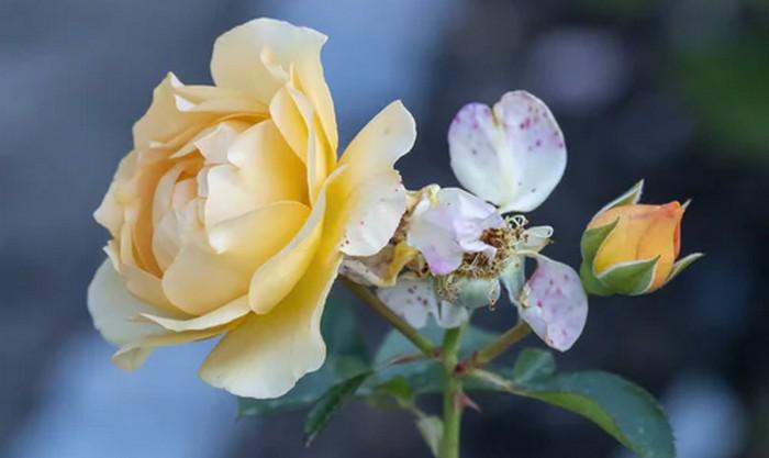 práce na záhrade ruže